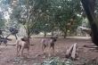 Video: Thả chó, rào thép gai, lắp camera canh trộm bưởi Diễn ở Hà Nội