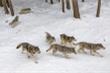 Gần 500 con chó sói chết oan do các nhà khoa học tính nhầm
