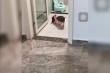 Clip: Chú lợn tự ngồi bô trong nhà vệ sinh