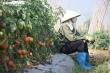 Cà chua chín đỏ đồng đúng dịch COVID-19, nông dân Chí Linh đứng ngồi không yên