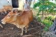 Xét nghiệm ADN để phân xử tranh chấp 4 con bò ở Hà Tĩnh