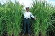 Trung Quốc khoe lúa cao quá đầu người, sản lượng gấp rưỡi
