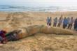 Quảng Nam: Cá voi dài 8m, nặng hơn 4 tấn trôi dạt vào bờ biển