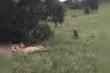 Chú lợn 'đánh lái' bất ngờ khi nhìn thấy sư tử