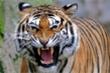 Hổ cái sát thủ đoạt mạng hơn 400 người