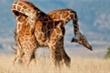Cặp hươu cao cổ chọi nhau quyết liệt để giành ngôi đầu đàn