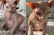 Xấu xí và trụi lông, vì sao giống mèo nhân sư hút hồn giới trẻ?