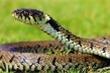 Chia sẻ video ăn rắn độc chữa COVID-19, nông dân Ấn Độ bị phạt