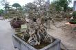 Cận cảnh bộ ba cây sanh 'hóa thạch' 30 tỷ đồng gây xôn xao