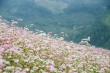 Video: Ngắm hoa tam giác mạch nở sớm trên cao nguyên đá Đồng Văn