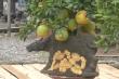 Video: Cận cảnh bonsai 'Trâu cõng bưởi' đón Tết 2021