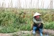 Video: Nông dân Hải Dương ngậm ngùi vứt bỏ nông sản đầy đồng do COVID-19