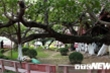 Ảnh: Chiêm ngưỡng cây đa 13 gốc độc nhất vô nhị ở Hải Phòng