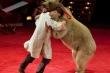 Gấu tấn công người huấn luyện trước mặt khán giả