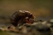 Đàn ve sầu tỷ con sẽ cùng chui lên mặt đất sau 17 năm 'ngủ vùi'