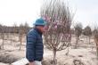 Đào Tết mắc kẹt vì COVID-19, nông dân Chí Linh nguy cơ ôm nợ khổng lồ