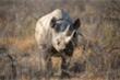 Con tê giác già nhất thế giới vừa chết ở Tanzania
