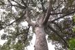 Chiêm ngưỡng cây sầu riêng gần 100 tuổi hiếm thấy ở miền Tây