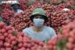 Ảnh: Ấn tượng hàng dài xe chở vải nối đuôi nhau đến điểm thu mua ở Bắc Giang