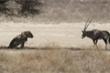 Linh dương sừng kiếm tự nộp mạng cho sư tử