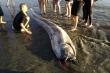 'Sứ giả thủy tề' khổng lồ trôi dạt vào bờ biển Philipines