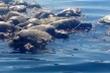 Video: Hàng trăm con rùa biển quý hiếm chết bí ẩn