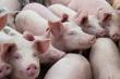 Giá lợn hơi giảm mạnh, xuất hiện mức 60.000 đồng/kg