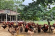Giá trứng lao dốc, người chăn nuôi tính chuyện phá đàn