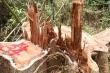 Điều tra nhóm lâm tặc ngang nhiên chặt phá rừng lim cổ thụ ở Quảng Nam