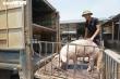 Lợn nhập Thái Lan chưa về nhiều, giá lợn hơi trong nước lại tăng