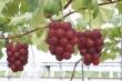 Nho Nhật Bản 11 triệu đồng/chùm gây sốt ở Việt Nam được trồng cầu kỳ thế nào?