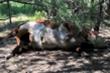 Đàn bò bị hút cạn máu bí ẩn, dân nghi do người ngoài hành tinh