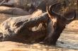 Video: Mải mê uống nước, linh dương đầu bò chết thảm trước bầy cá sấu