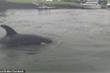 Cá voi sát thủ làm thịt cá đuối