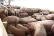 Giá thịt lợn vẫn tăng tốc, Bộ quyết nhập khẩu lợn sống về giết mổ