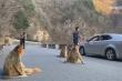 Video: Đàn khỉ vàng quý hiếm tràn xuống đường tìm thức ăn ở Trung Quốc