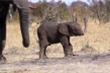 Xót xa voi con mất vòi lạc lõng trong tuyệt vọng trên đồng cỏ