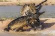 Video: Những cuộc chiến sinh tử giữa báo hoa mai và cá sấu