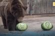 Video: Gấu và hổ vườn thú Nga dự đoán bầu cử Tổng thống Mỹ 2020