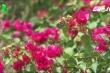 Người trồng hoa Bến Tre điêu đứng vì tin đồn hoa giấy gây ung thư