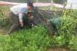 Phát hiện một gia đình ở Hà Tĩnh trồng cây thuốc phiện trong vườn