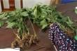 Bắt giam kẻ nhổ trộm 74 cây sâm Ngọc Linh