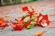 Khi cây hoa học trò - phượng vỹ, thành tội đồ với học trò