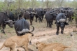 Video: Chạm trán đàn trâu 500 con, sư tử không dám ho he, buộc phải bỏ đi