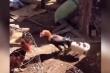 Chó con cắn đuôi gà trống để ngăn đánh nhau