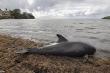 Cá heo ốm nặng, chết hàng loạt nghi do sự cố tràn dầu nghiêm trọng