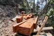 Ảnh: Hàng chục cây gỗ lâu năm trong rừng tự nhiên ở Quảng Nam bị 'xẻ thịt'