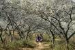 Ngây ngất ngắm hoa mận bung nở trắng xóa núi rừng Tây Bắc