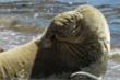 Hải cẩu ngại ngùng che mặt khi thấy máy ảnh