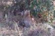Cuộc chạm trán sinh tử giữa trăn đá khổng lồ Châu Phi và mẹ con báo đốm